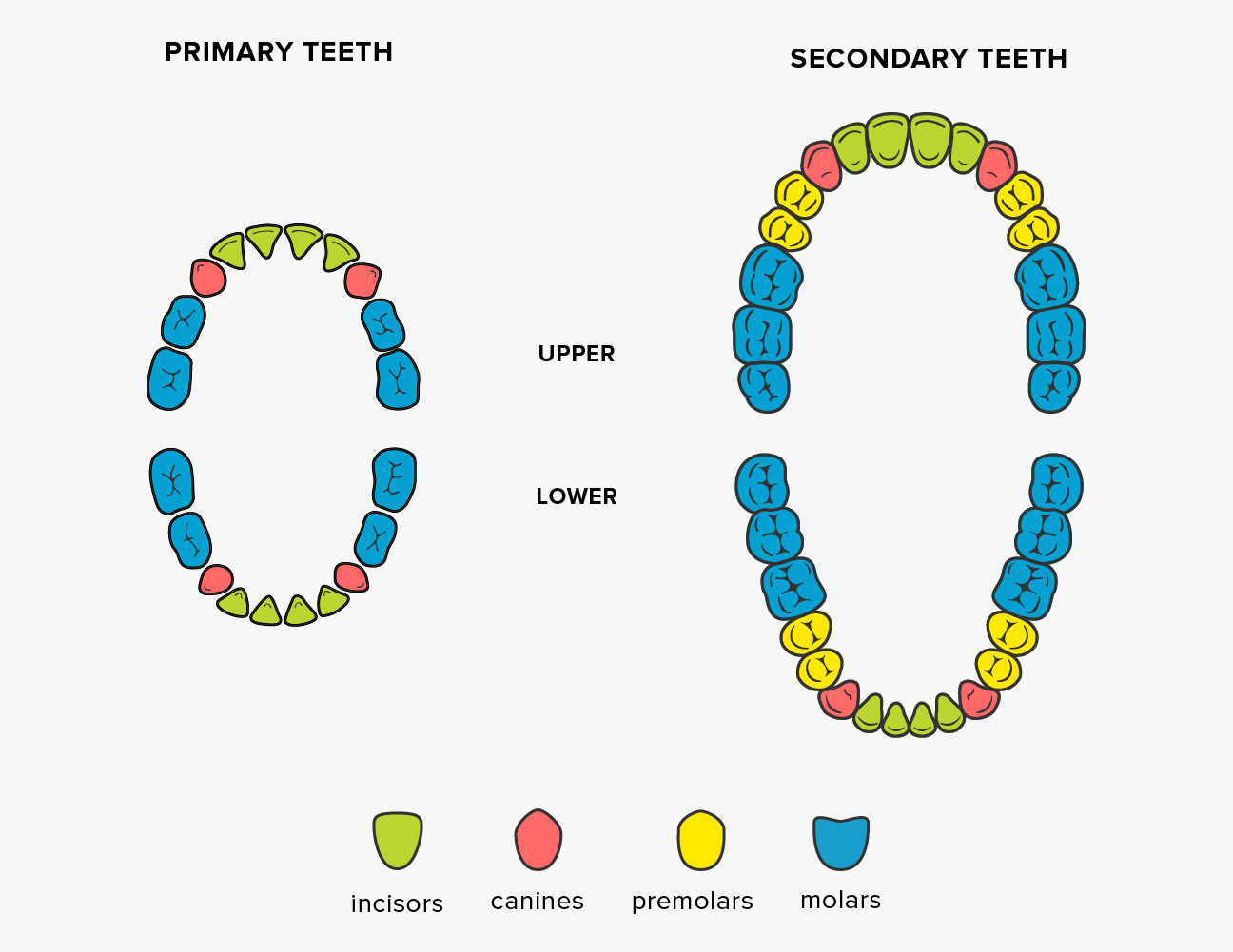 Teeth names shape and function of four types of teeth what are incisors ccuart Image collections