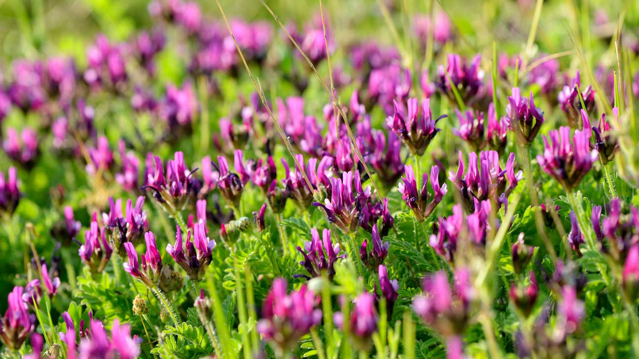 Astragalus (Huáng Qí): Benefits, Side Effects and Dosage