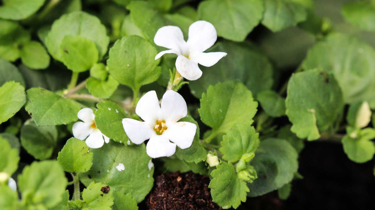 7 Emerging Benefits of Bacopa monnieri (Brahmi)