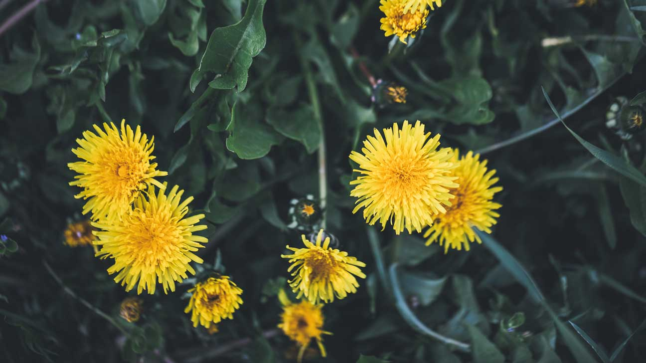13 potential health benefits of dandelion