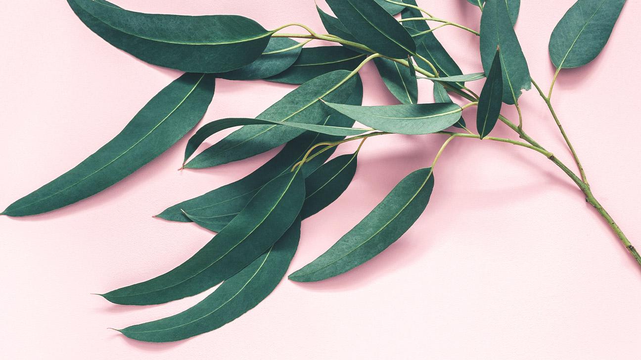 7 Impressive Benefits Of Eucalyptus Leaves