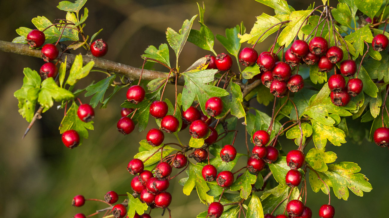 9 Impressive Health Benefits of Hawthorn Berry