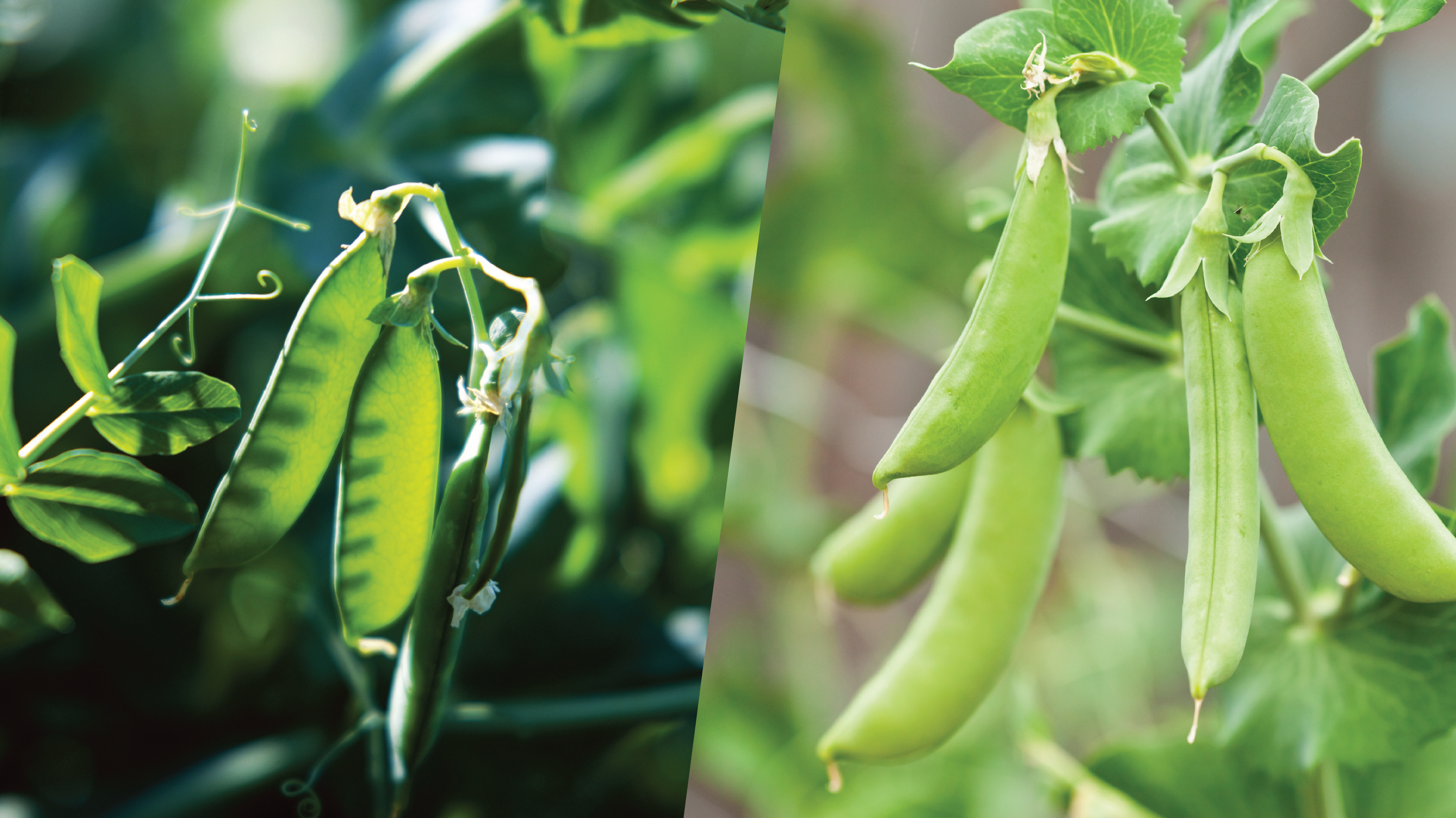 What S The Difference Between Snow And Sugar Snap Peas