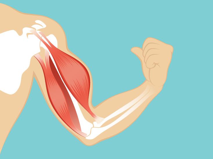 Quadriceps Anatomy Function Origin Body Maps
