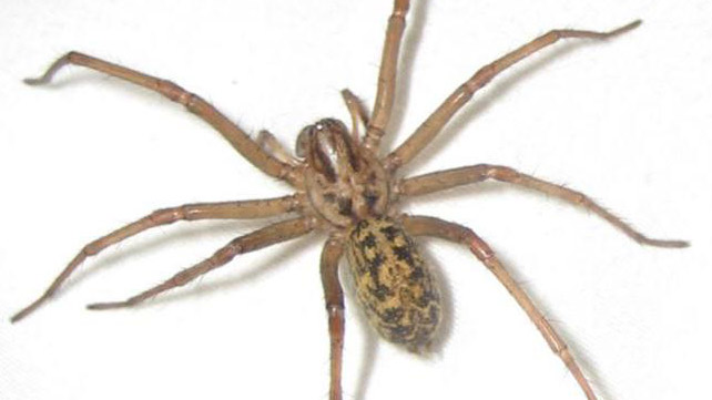 Hobo Spider Bite Pictures Symptoms And Treatments
