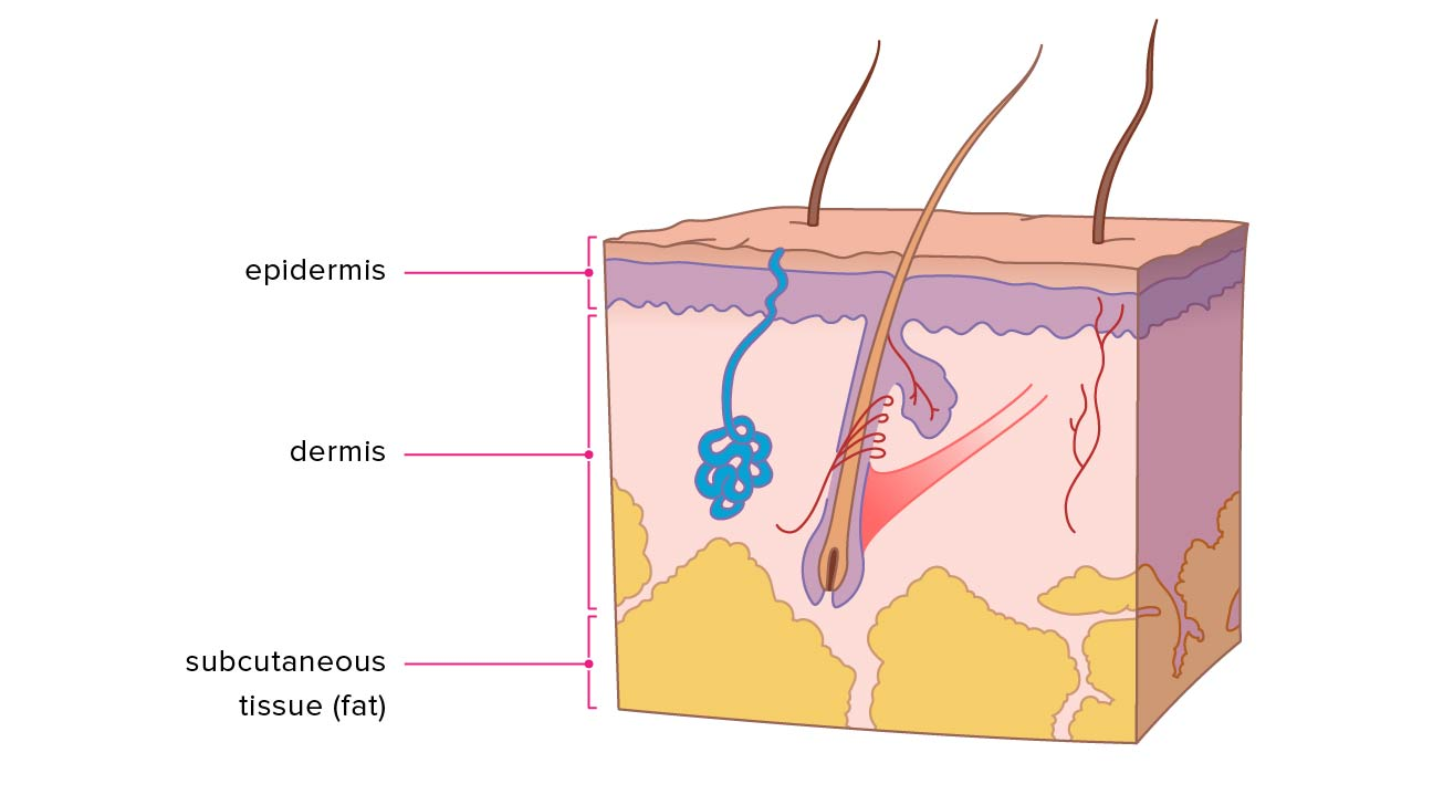 Layers Of Skin How Many Diagram Model Anatomy In Order