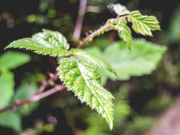 6 Benefits of Stinging Nettle (Plus