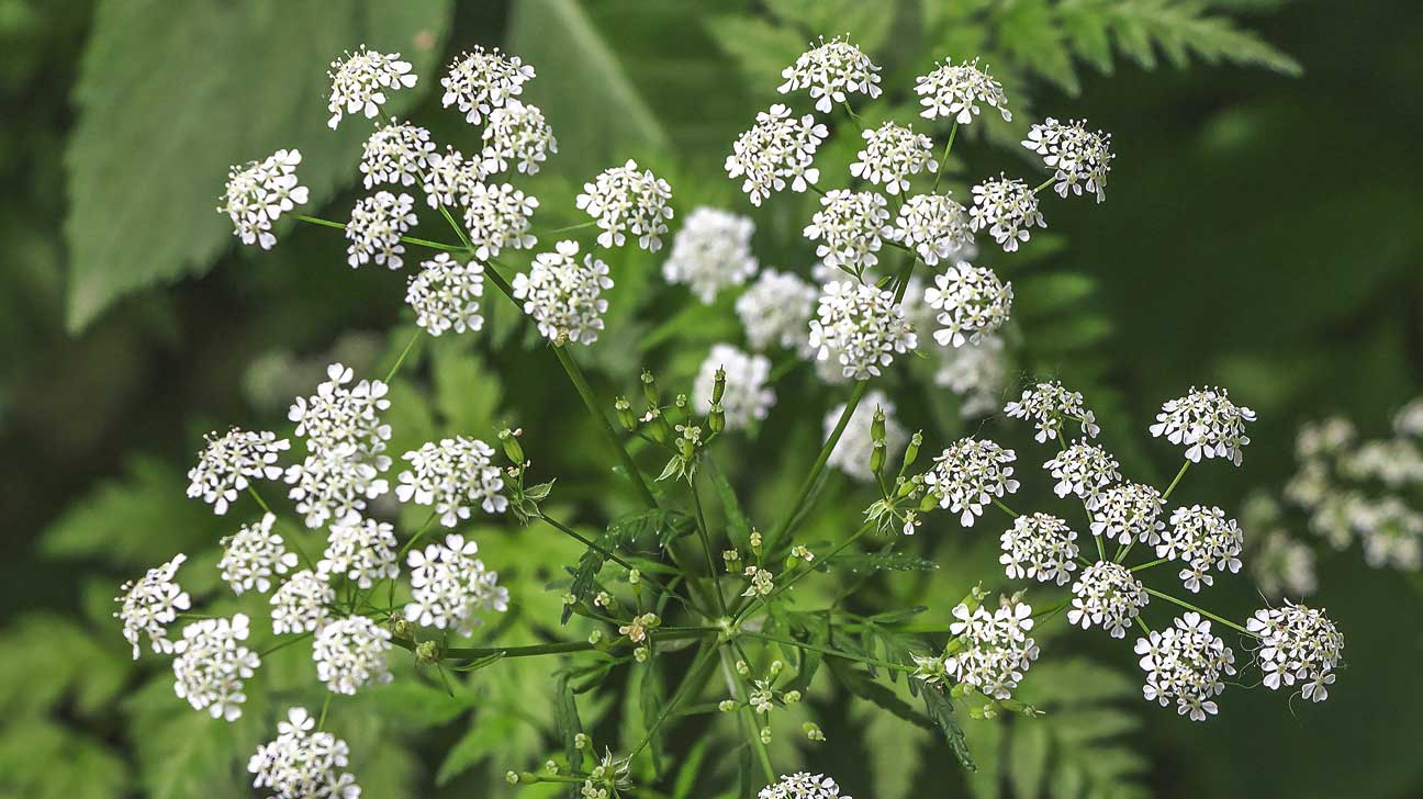 Hemlock Poisoning: Symptoms, Treatment, and Prevention