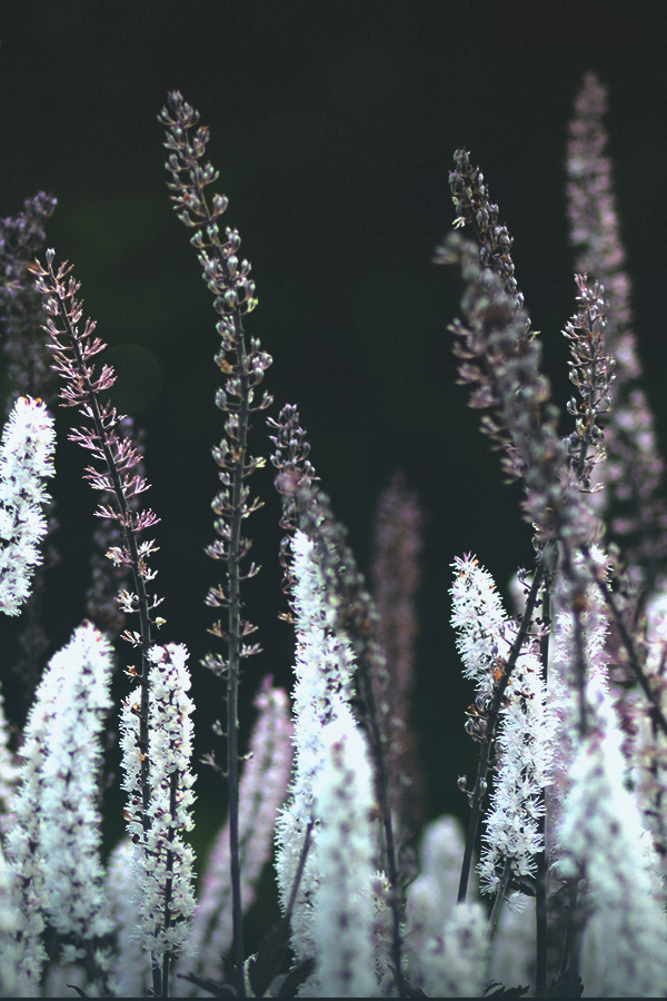 Black Cohosh: Uses and Side Effects