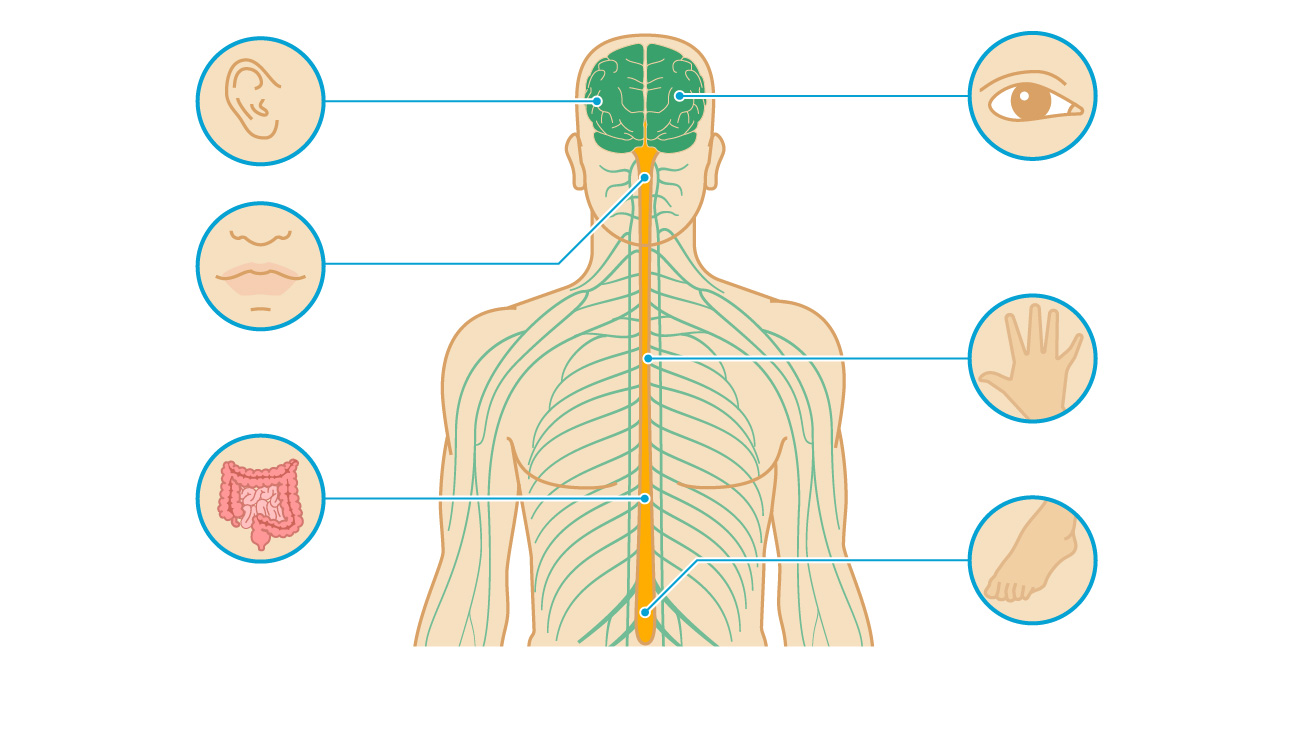 7 Pictures of Multiple Sclerosis: How MS Affects Your Brain